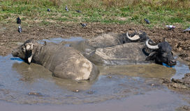 Buffalos relaxing in puddle. Three buffalos relaxing in puddle Stock Photography