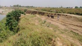 Buffalos are searching water. Thirsty Buffalos are searching water to drink stock photography