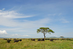Buffalos in Serengeti Stock Photography