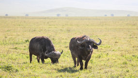 Buffalos Stock Image