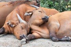 Buffalos Stock Images