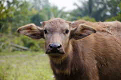 Little Brown Buffalo. The little buffalo living in farm in country side of Thailand Stock Photo