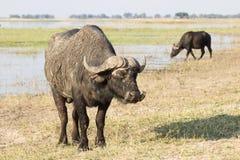 Buffalos in the sun Stock Photos