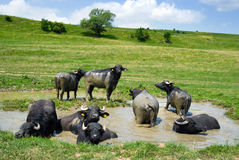 Buffalos in a swamp Stock Photos