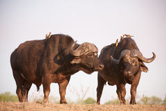 Buffalos (Syncerus caffer) in the wild. Two Buffalos (Syncerus caffer) close-up with Red-billed Oxpeckers (Buphagus erythrorhynchus) in the wild in South Africa royalty free stock images