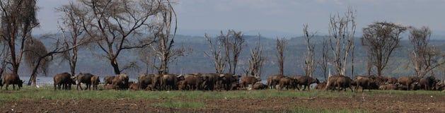 Buffalos. Wild Buffalos in lake Nakuru national park Stock Photography