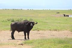 Buffalos. Wild Buffalos in lake Nakuru national park Royalty Free Stock Photos