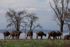 Buffalos. Wild Buffalos in lake Nakuru national park Stock Image