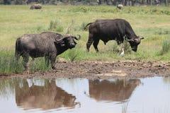 Buffalos. Wild Buffalos in lake Nakuru national park Stock Photo
