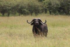 Buffalos. Wild Buffalos in Masai Mara national park Stock Images