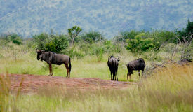 Buffalos in the wild Royalty Free Stock Image