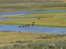 Buffalos at Yellowstone. Buffalos crossing the river at Yellowstone National Park, Utah, U.S.A stock photography