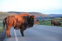 Buffalos,Yellowstone National Park. Buffalos crossing road in early morning,Yellowstone National Park stock photography