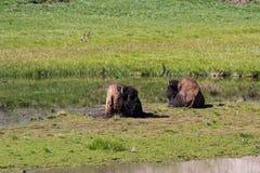 Buffalos in Yellowstone royalty free stock image