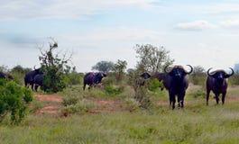 Buffalow i Kenya Arkivfoton