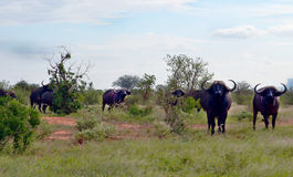 Buffalow nel Kenya Fotografie Stock