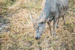 Buffalow som äter gräs Royaltyfri Bild