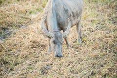 Buffalow som äter gräs Arkivbild