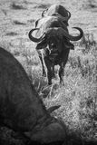 Buffalows Zdjęcia Royalty Free