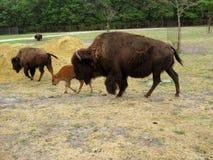 buffel Royaltyfria Foton
