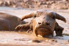 buffel Arkivfoto