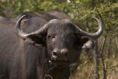 buffel Arkivbild