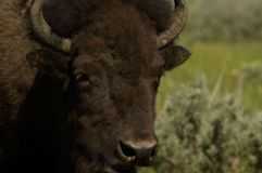 buffel Royaltyfri Foto