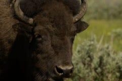 buffel royaltyfri foto