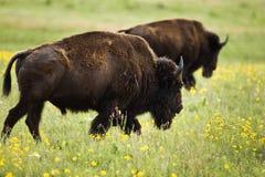buffel Arkivbilder