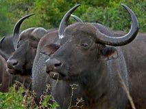 buffel Arkivfoton