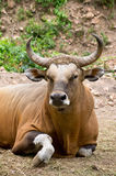 Buffel Royaltyfria Foton
