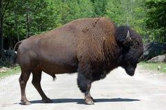 buffel fotografering för bildbyråer
