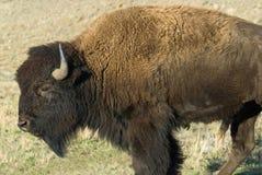 buffel Royaltyfri Bild