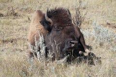 Buffel (amerikansk bison) i Theodore Roosevelt National Park Royaltyfri Fotografi