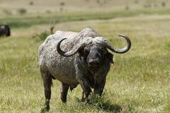 buffel caped mud arkivfoto