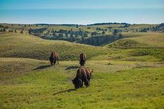 Buffel Custer State Park, Custer, SD Royaltyfria Foton