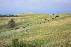 Buffel Custer State Park, Custer, SD arkivbilder