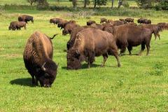 Buffel för amerikansk bison (bisonbison) enkelt Fotografering för Bildbyråer