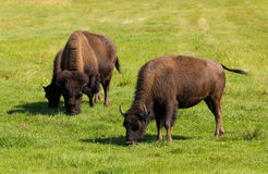 Buffel för amerikansk bison (bisonbison) enkelt Arkivfoton