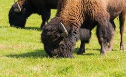 Buffel för amerikansk bison (bisonbison) enkelt Royaltyfria Bilder