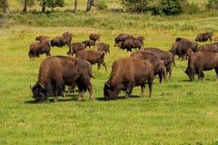 Buffel för amerikansk bison (bisonbison) enkelt Arkivbild