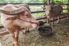 Buffel för två albino Arkivfoton