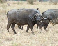 Buffel för två udd Royaltyfria Bilder