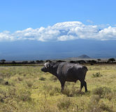 Buffel i afrikanen Royaltyfri Bild