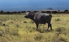 Buffel i afrikanen Arkivbild