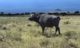 Buffel i afrikanen Arkivfoto
