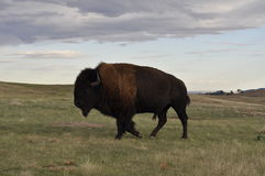Buffel i Badlandsnationalpark Royaltyfri Fotografi