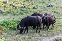 Buffel i berg av Abchazien Arkivfoto