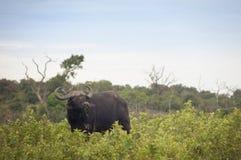 Buffel i den afrikanska savannahen Royaltyfria Foton