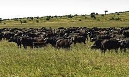 Buffel i den afrikanska savannahen Fotografering för Bildbyråer